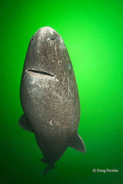 Greenland sleeper shark, Somniosus microcephalus, St. Lawrence River estuary, Canada (dm) (this shark was wild & unrestrained; it was not hooked and tail-roped as in most or all photos from the Arctic)