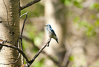 Mountain Bluebirds summer in mountains and along meadows and winter in lowlands this is a male Mountain Bluebird.