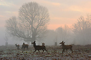 © Licensed to London News Pictures. 10/12/2013. Richmond, UK. Deer graze in frost covered ground. Sunrise and deer in Richmond Park, Surrey, this morning 10 December. Photo credit : Stephen Simpson/LNP