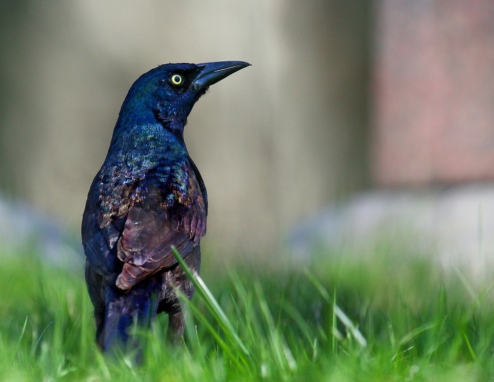 A purple grackle next to a grave stone in Greenwood Cemetery, a short distance from Prospect Park.