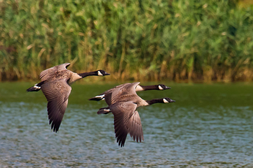 Perhaps one of the better flying geese shots I have captured in terms of sharpness.