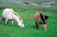 Mongolie. Province de l'Arkhangai. Chevaux dans les paturages. //Horses. Arkhangai province. Mongolia.