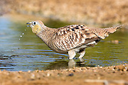 female Crowned Sandgrouse (Pterocles coronatus) Photographed in the desert, negev, israel