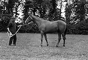 02/08/1967<br /> 08/02/1967<br /> 02 August 1967<br /> Horse at Allenwood, Lucan. Photo taken for Sir John Prichard-Jones (Baronet) of Allenwood House, Lucan,  Co. Dublin.