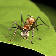 A Polyrhachis sp. ant.