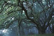 Oaks in Fog<br /> Mount Tamalpais State Park,CA