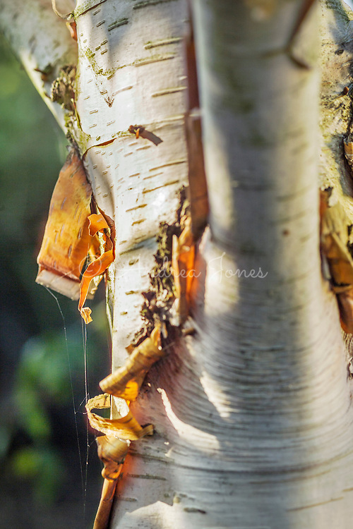 Betula albosinensis var. septentrionalis (Chinese red birch) peeling bark