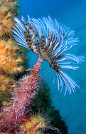 Alberto Carrera, Narural Colors Exhibition, Tubeworm, Fan Worm, Spirographis, Spirographis Spallanzani, Feather Duster Worms, Tube Worm, Polychaete, Mediterranean Sea, Spain, Europe