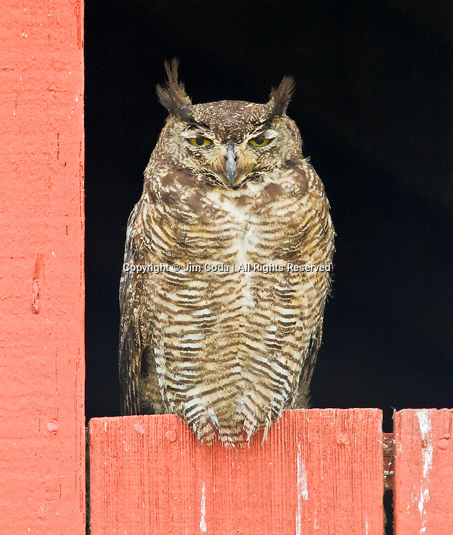 A great horned owl sits in a barn window.