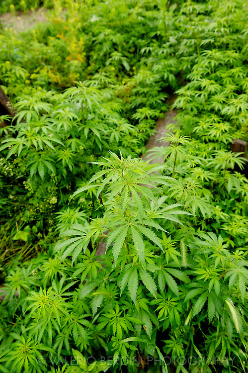 Cannabis plants growing wild along the banks of the Jelhum river in Srinagar. Marijuana is widely use in the region. Kashmir. India
