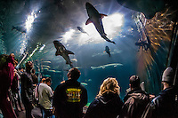 Sharks, Aquarium of the Bay, Fisherman's Wharf, San Francisco, California USA