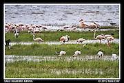 Flamingos along the lake edge.Lake Nakuru, Kenya.September 2012