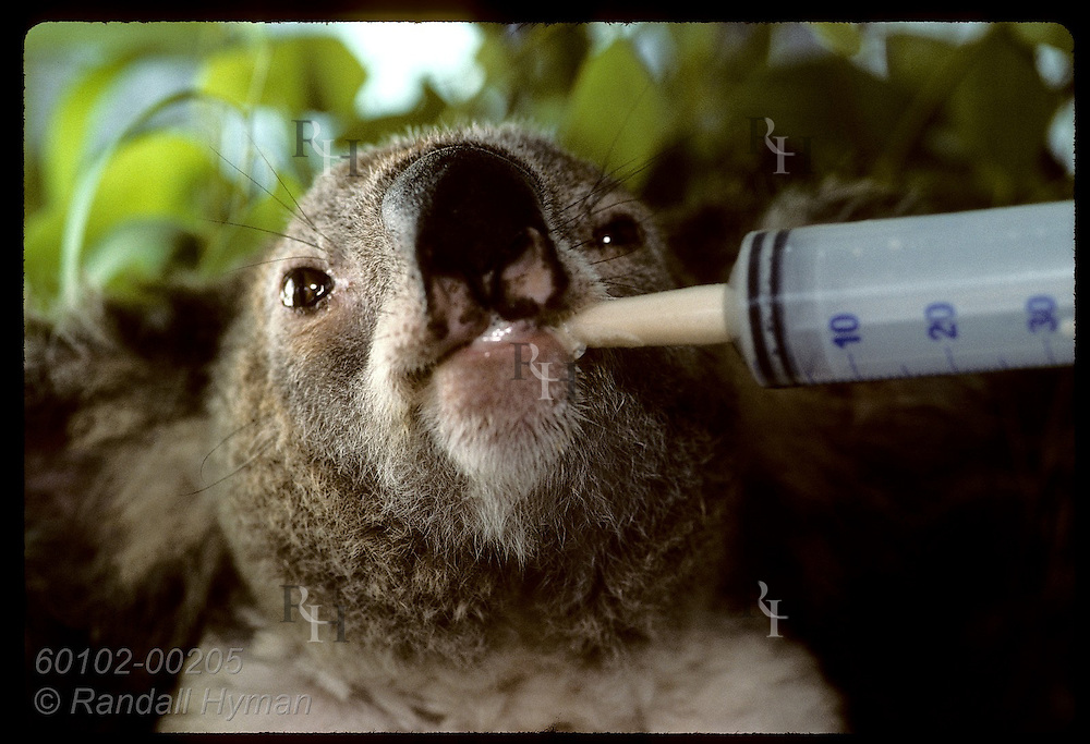 Injured koala drinks baby formula from syringe @ U of Queensland koala rehab center in Brisbane. Australia