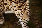 Panthera pardus saxicolor), also called Caucasian leopard, is the largest leopard subspecies, weighng up to 90kg, and average bodylenght of 259 cm. This picture is captured at Orsa Animalpark, Sweeden. I have added gentle paint effect in PhotoShop | Persisk Leopard, også kalt Caucasian Leopard, er med sin vekt på opptil 90 kg og gjennomsnittelig kroppslengde 259 cm den største leopard arten. Dette bildet er tatt i Orsa Bjørnepark i Sverige. Jeg har lagt til en anelse maleri effekt i Photoshop.
