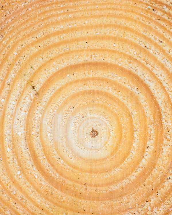 Detail of felled pine, Rosal, Strathnaver, Sutherland, Forestry Commission, Scotland