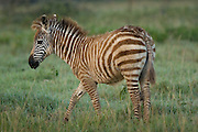 Baby zebra, Lake Nakuru National Park, Kenya
