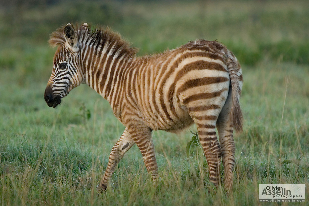 Baby zebra, Lake Nakuru National Park, Kenya