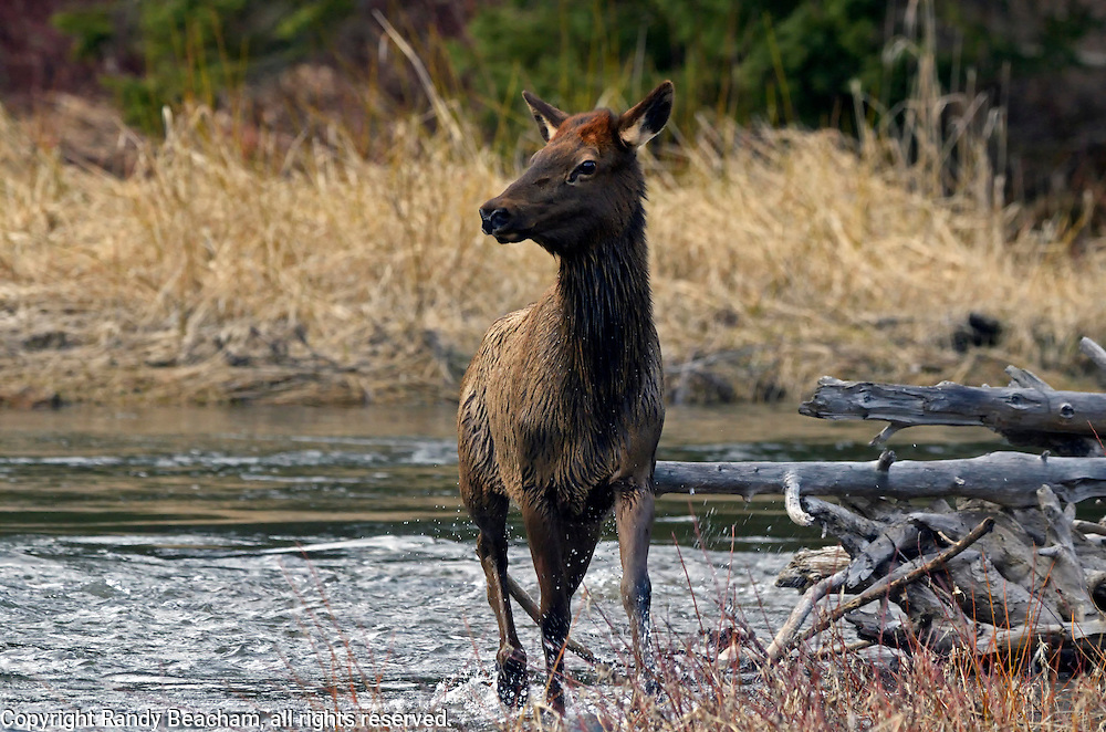 A yearling elk calf in the Yaak River in spring. Yaak Valley Montana