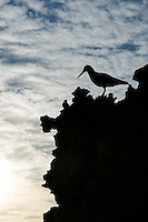 African Black Oystercatcher silhoutted at dusk, De Hoop Nature Reserve & Marine Protected Area, Western Cape, South Africa