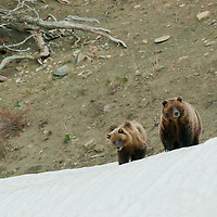 grizzly sow two cubs snow bank