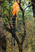 "06 APRIL 2013 - CHIANG MAI, CHIANG MAI, THAILAND: Flames candle and crown in a tree at the site of an illegal burn on the edge of Chiang Mai. The ""burning season,"" which roughly goes from late February to late April, is when farmers in northern Thailand burn the dead grass and last year's stubble out of their fields. The burning creates clouds of smoke that causes breathing problems, reduces visibility and contributes to global warming. The Thai government has banned the burning and is making an effort to control it, but the farmers think it replenishes their soil (they use the ash as fertilizer) and it's cheaper than ploughing the weeds under.   PHOTO BY JACK KURTZ"