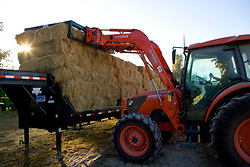 Stock photo of a man loading square bales of freshly cut hay onto a flatbed trailer with a red tractor