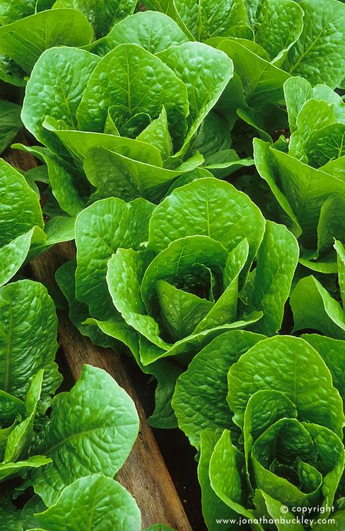 Lettuce 'Cos Lobjoits'