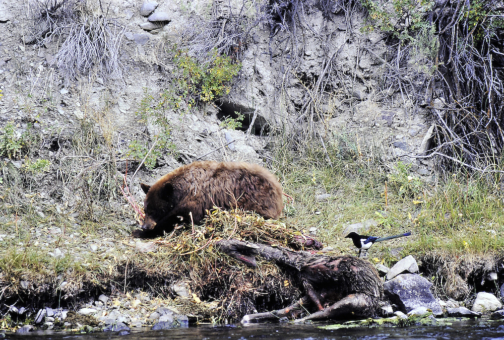 Sleeping on carcass, magpie feeds. Yellowstone National Park, Wyoming