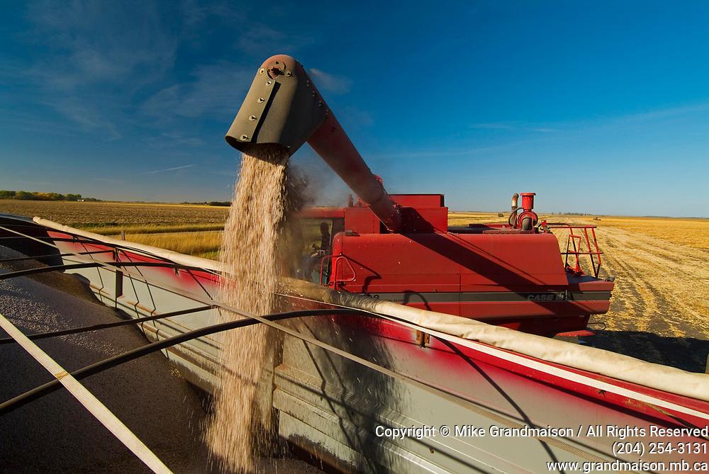 Harvesting beans  Unloading crop into hauling truck