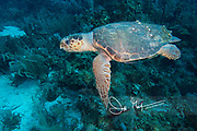 A Loggerhead sea turtle swims underwater above the coral reef, off the coast of Belize.