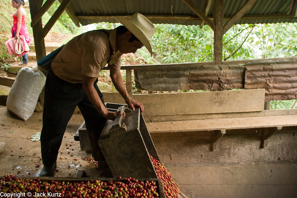 23 OCTOBER 2003 -- TAPACHULA, CHIAPAS, MEX: Workers harvest coffee on a finca (plantation) near Tapachula, Mexico. World coffee prices have been depressed by over production in Brazil and Vietnam and thousands of coffee farmers in Mexico and Guatemala have been forced to emigrate to the US as undocumented workers because of the crisis in the coffee industry. PHOTO BY JACK KURTZ