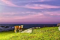Gado na Ilha das Campanhas, na Praia da Armação, ao anoitecer. Florianópolis, Santa Catarina, Brasil. / Cattle in Ilha das Campanhas, next to Armacao Beach, at dusk. Florianopolis, Santa Catarina, Brazil.