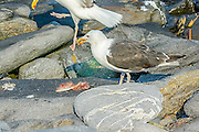 Great Black-backed Gull - Larus marinus feeding on a fish