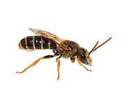 Sweat Bee (Halictus poeyi), South Carolina.
