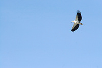 A White-Bellied Sea Eagle  (Haliaeetus leucogaster) flies over the Aurukun Wetlands, remote Cape York, far northern Queensland, Australia..