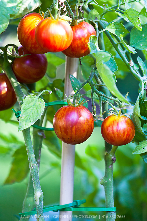Tigerella heirloom tomatoes on the vine, also known as  'M.r Stripey'.