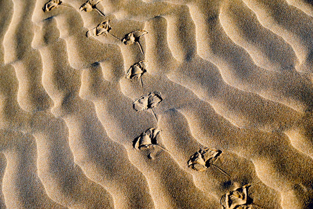Seagull tracks in desert sand at the Lagoon Khenifiss (Lac Naila), Atlantic coast, Morocco.
