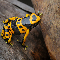 Yellow-headed Poison Frog (Dendrobates leucomelas). As with other dendrobatids these brightly colored amphibians are protected from predators by highly potent toxins within their skin, making them deadly to eat. Bolivar, Venezuela.