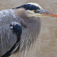 Portrait of a great blue heron (Ardea herodias) hunting along an overflow tributary of the Potomac River above the Great Falls, Great Falls National Park, Great Falls, Virginia