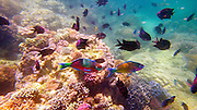 Photo shows some of the rich and colorful marine life and coral in the waters around Puerto Galera, the Philippines.