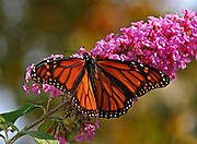 Beautiful Orange Butterfly On Flower