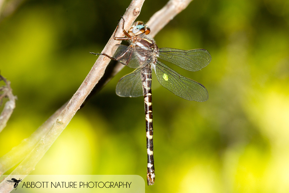 Sarracenia Spiketail (Cordulegaster sarracenia) - female marked for research<br /> LOUISIANA: Natchitoches Parish<br /> Middle Branch Bog; Peason Ridge Wildlife Management Area in the&nbsp;Kisatchie National Forest<br /> 5-April-2016<br /> J.C. Abbott &amp; K.K. Abbott