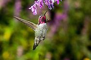 Anna's Hummingbird, Calypte anna, male, hovering at a sage blossom; Sonoran Desert, Arizona