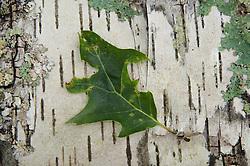 Leaf on Birch Bark, Upper Negro Island, Castine, Maine, US