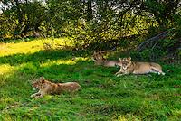 Female lions near Kwara Camp, Okavango Delta, Botswana.