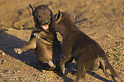 Spotted Hyena<br /> Crocuta crocuta<br /> 6 week old cubs playing<br /> Masai Mara Conservancy, Kenya