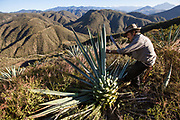 Aquilino in his agave field harvesting.