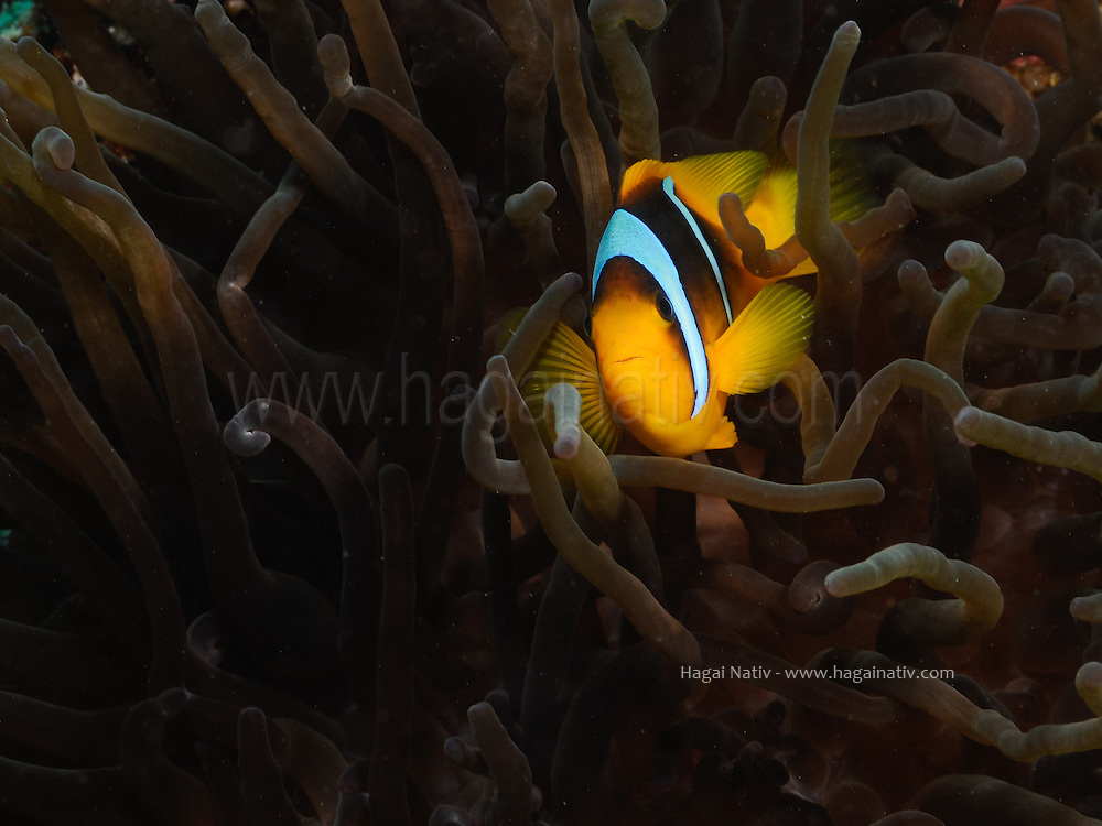Clownfish or anemonefish are fishes from the subfamily Amphiprioninae in the family Pomacentridae. Thirty species are recognized, one in the genus Premnas, while the remaining are in the genus Amphiprion. In the wild they all form symbiotic mutualisms with sea anemones. Depending on species, clownfish are overall yellow, orange,or a reddish or blackish color, and many show white bars or patches. The largest can reach a length of 18 centimetres (7.1 in), while the smallest barely can reach 10 centimetres (3.9 in).