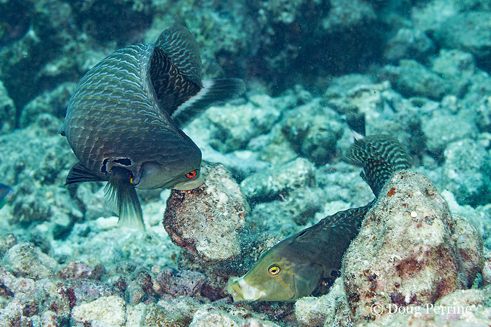 rockmover wrasse or dragon wrasse, Novaculichthys taeniourus, adults, excavating coral rubble in order to feed, Kaiwi Point, Kona, Hawaii ( Central Pacific Ocean )