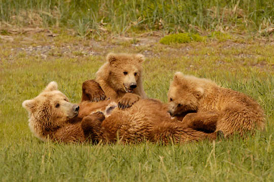 Alaskan Brown Bear (Ursus middendorffi) Mother nursing cubs. Katmai National Park. Alaska. ..00470  Alaskan Brown Bear (Ursus middendorffi) Mother nursing cubs. Katmai National Park. Alaska. ..Alaskan Brown Bear (Ursus middendorffi) Mother nursing cubs. Katmai National Park. Alaska. ..00470  Alaskan Brown Bear (Ursus middendorffi) Mother nursing cubs. Katmai National Park. Alaska.